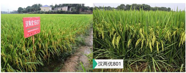 优质、高产杂交水稻组合汉两优1607和汉两优801.jpg