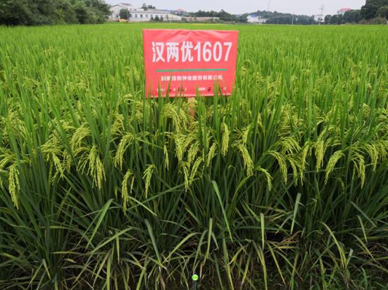 迟熟中稻——汉两优1607